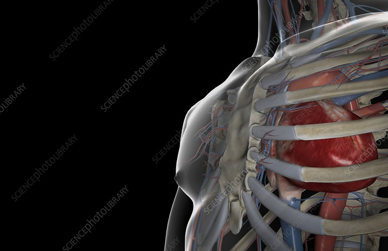 The heart within the thoracic cavity