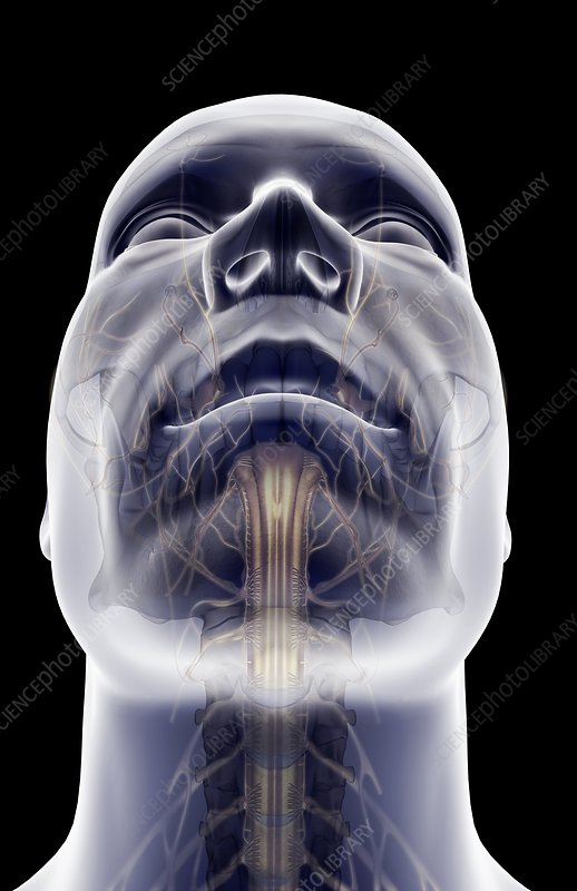 The nerves of the face and neck