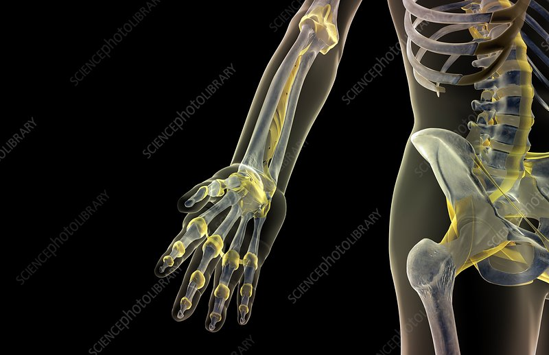 The ligaments of the hand and forearm