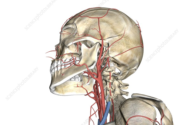 The arteries of the neck and head