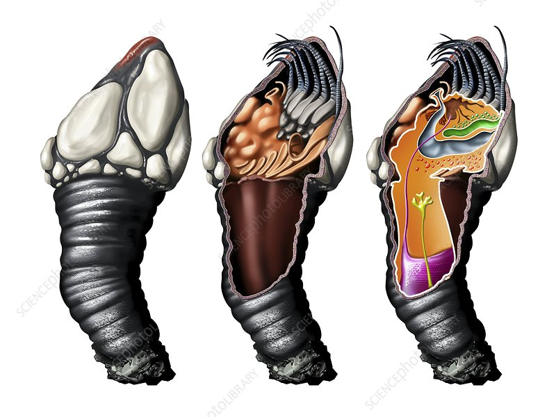Goose barnacle anatomy, artwork