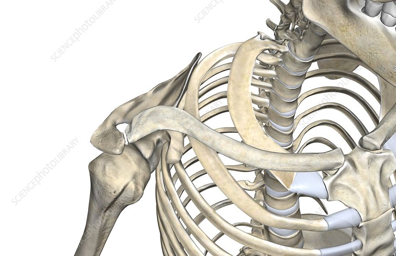 The bones of the neck and shoulder