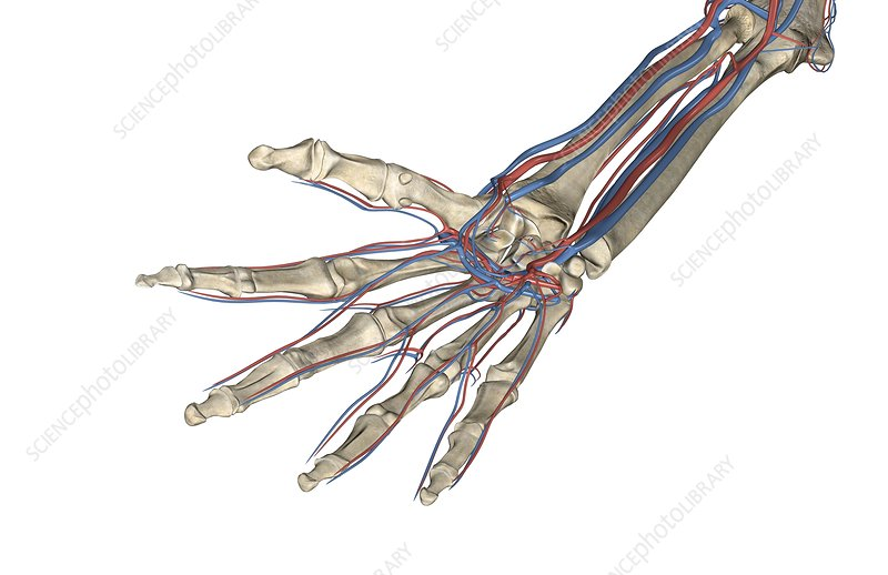 Blood Vessels of the Hand and Fingers