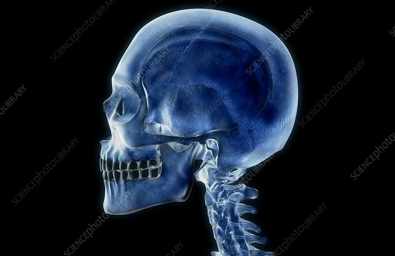 The bone structure of the neck and head