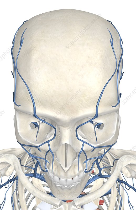 The veins of the face