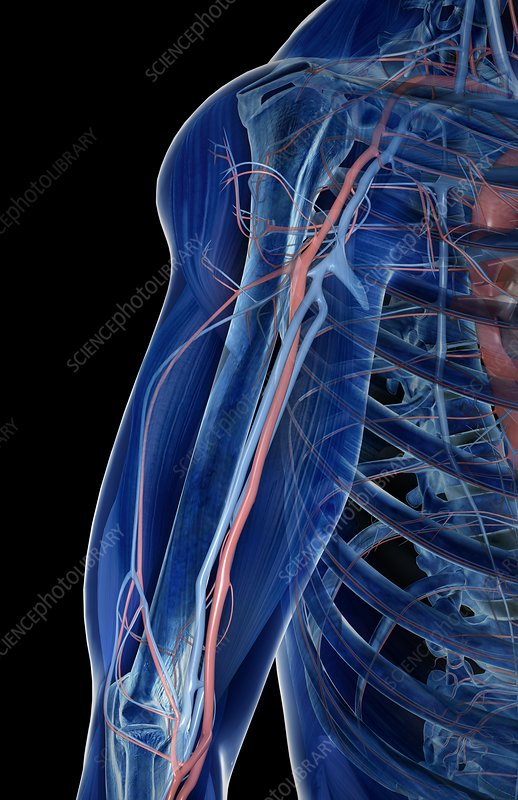 The blood vessels of the upper arm