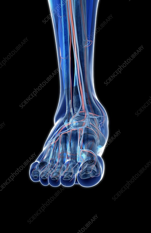The blood vessels of the foot