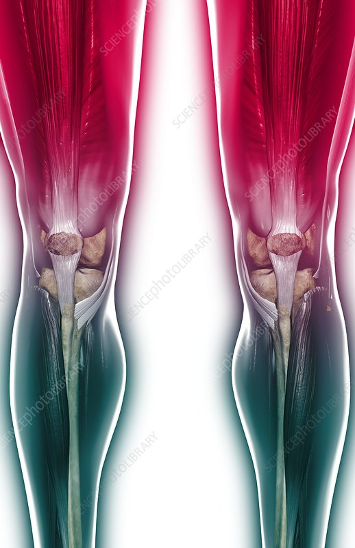The muscles of the knee