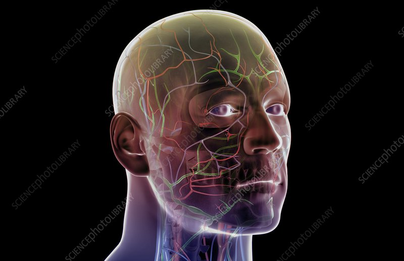 The blood and lymph vessels of the head a