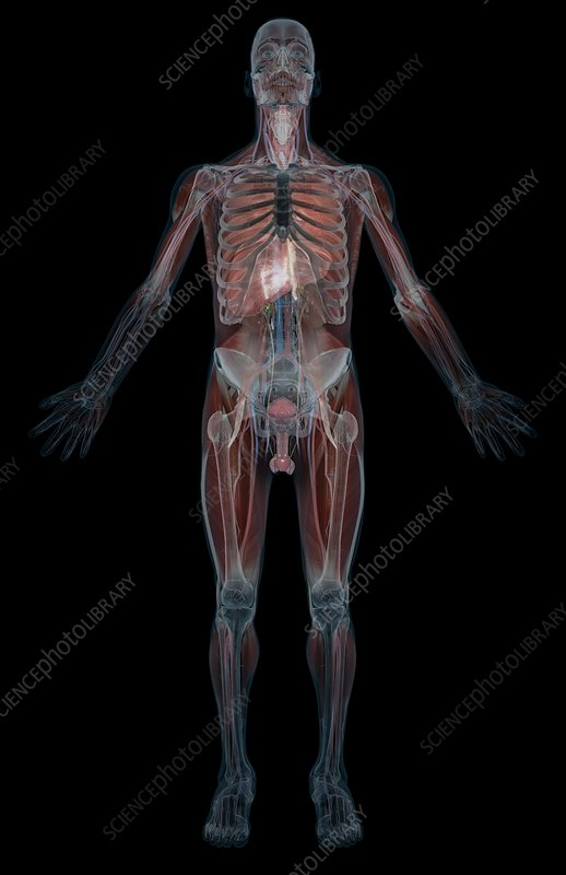 Organs of the body