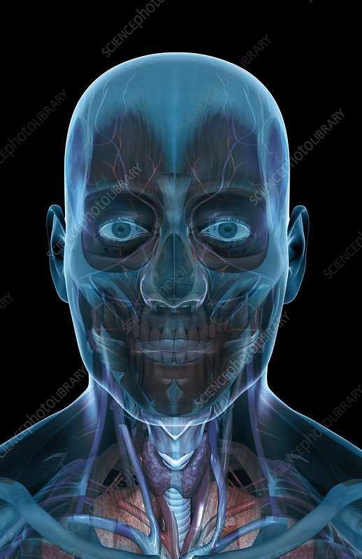 The musculature of the face