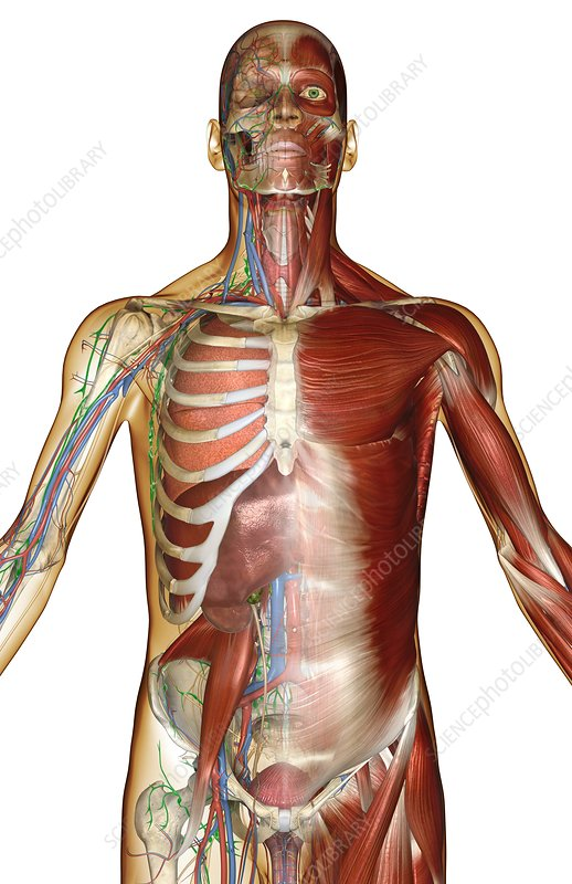 The lymph and blood vessels of the arm