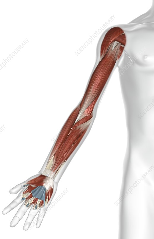 The muscles of the arm