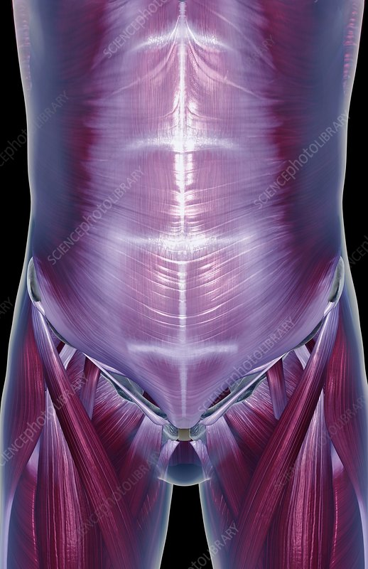The muscles of the stomach
