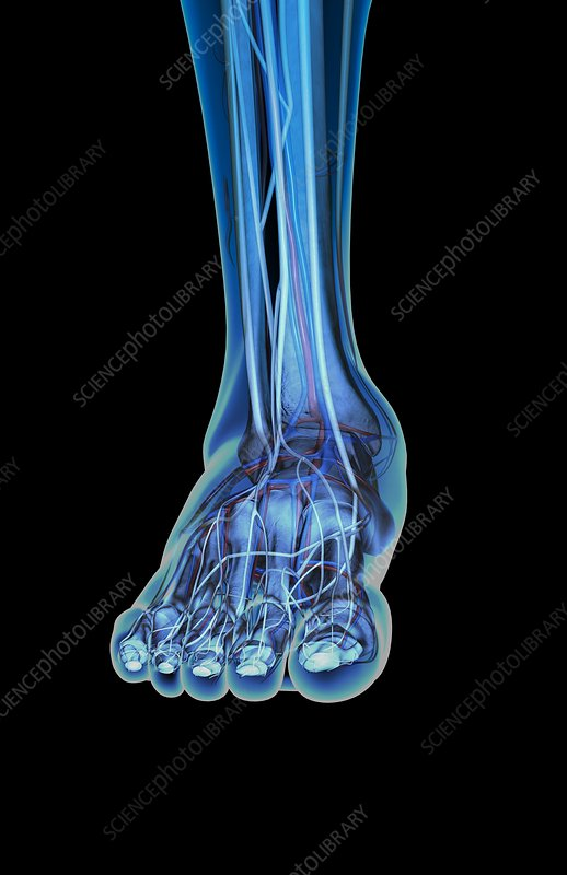 The blood vessels and nerves of the foot
