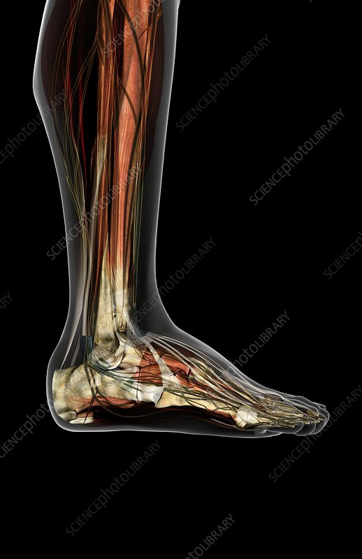 The muscles of the legs and feet