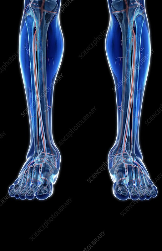 The blood vessels of the legs