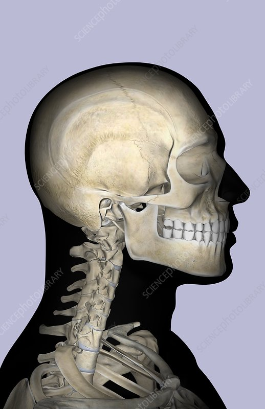 The bones of the neck and head