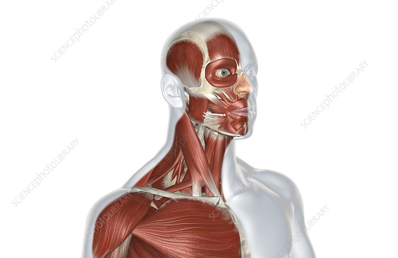 The muscles of head and neck
