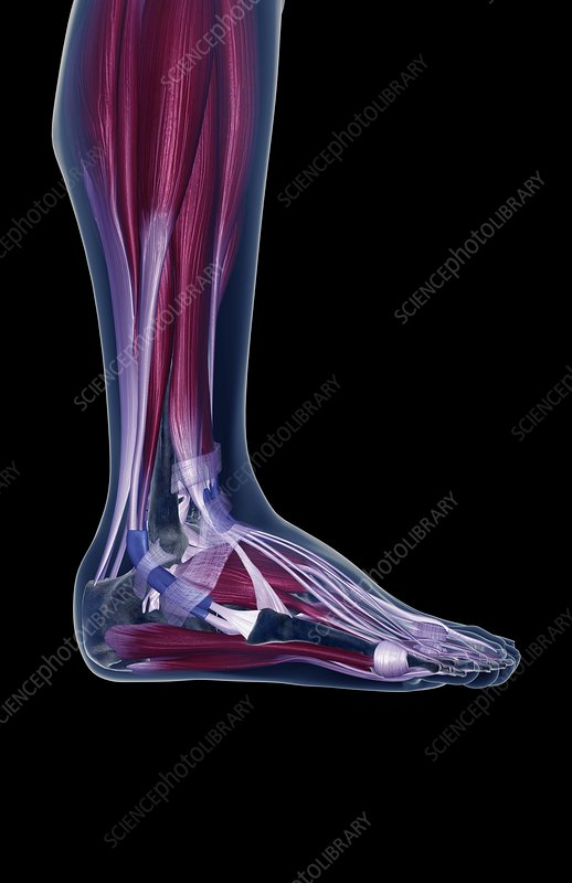 The muscles of the leg and foot