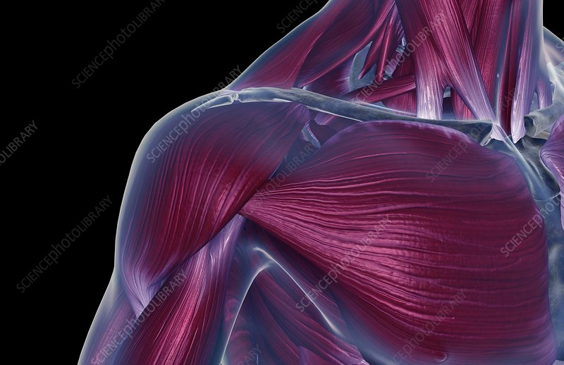 The muscles of the neck and shoulder