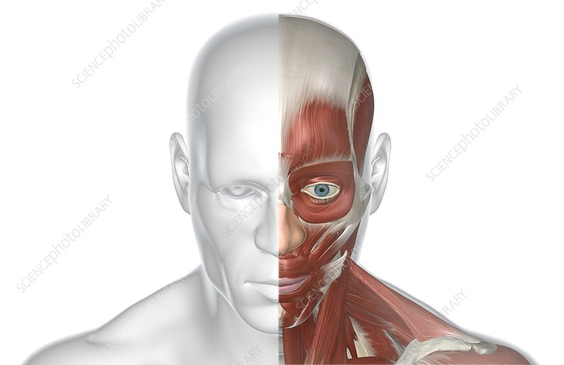 The musculature of the face and head