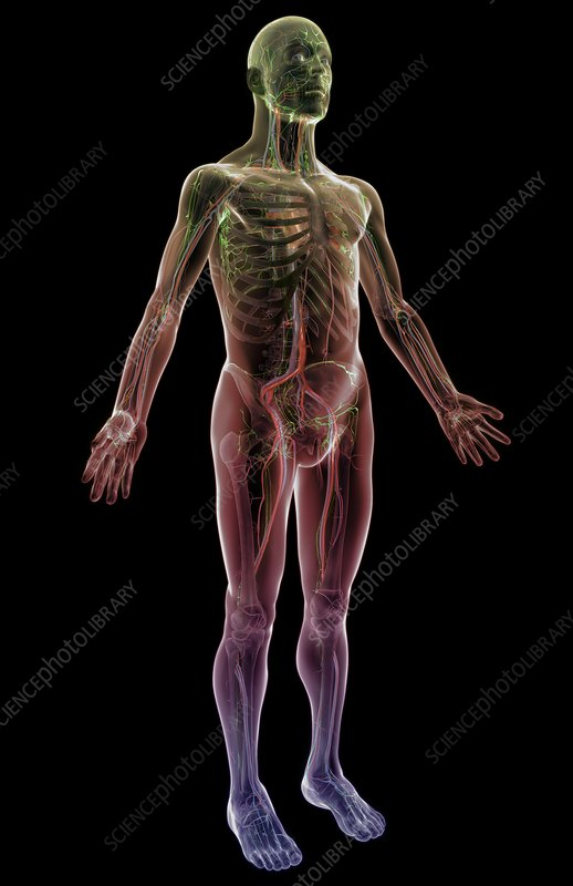 The lymphatic and vascular system
