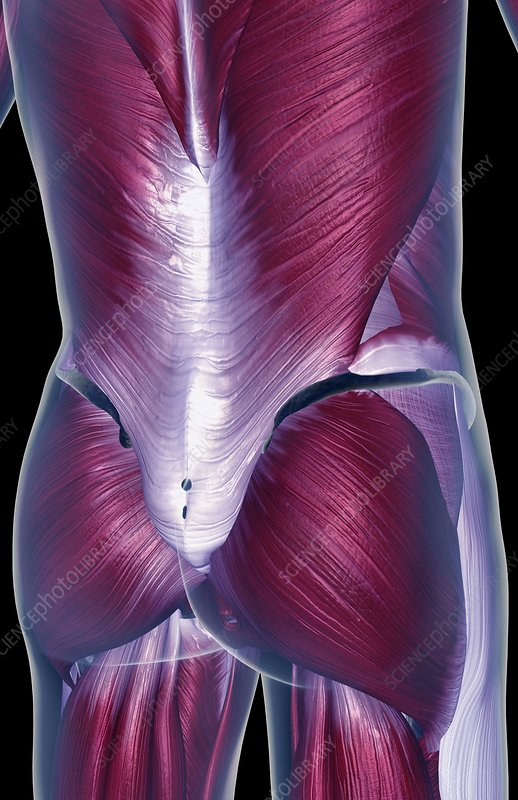 The muscles of the lower back