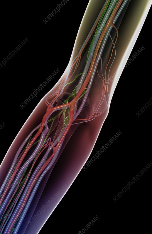 The blood and lymph vessels of the arm