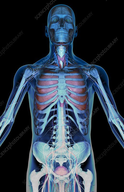 The respiratory system and nerves of the