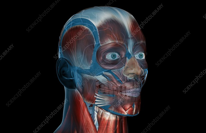 The muscles of the face and head
