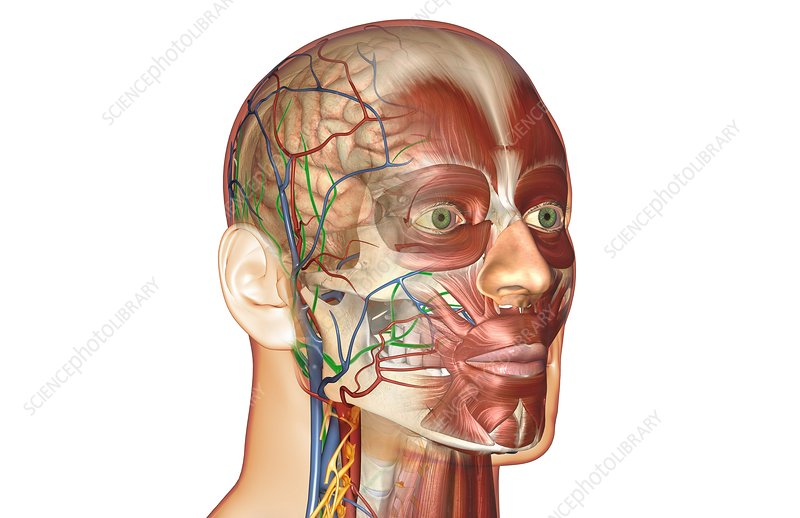 The blood and lymph vessels of the face