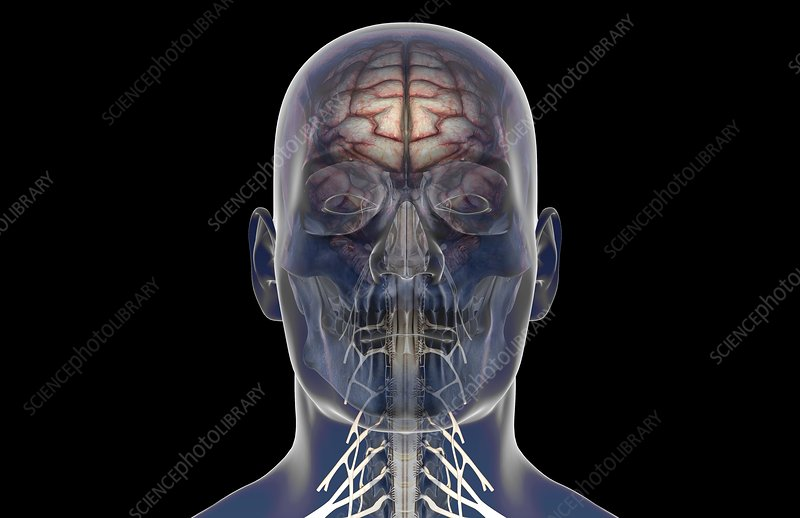 The nerves of the neck and head