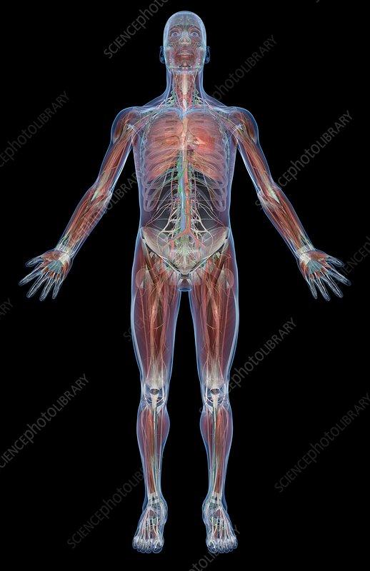 The appendicular musculature