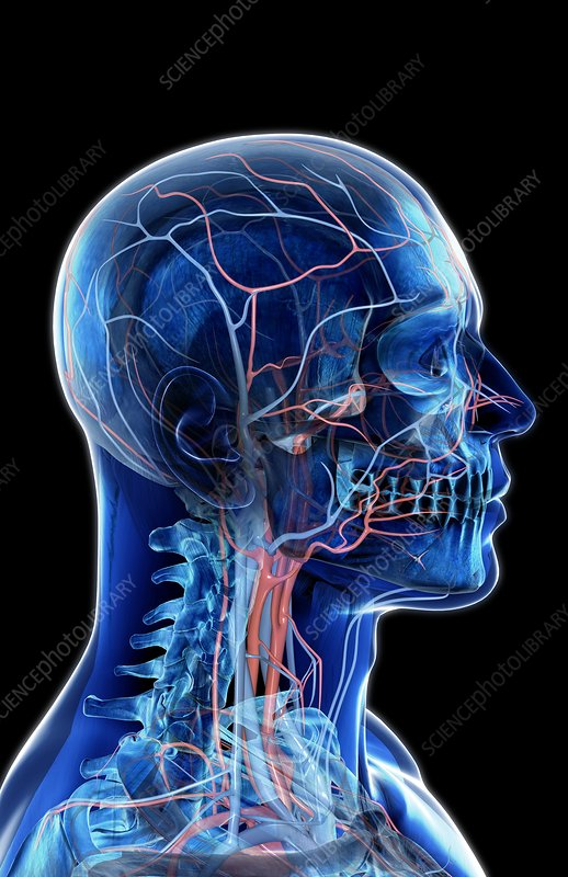 The Blood Vessels Of The Neck And Head Stock Image C0082782