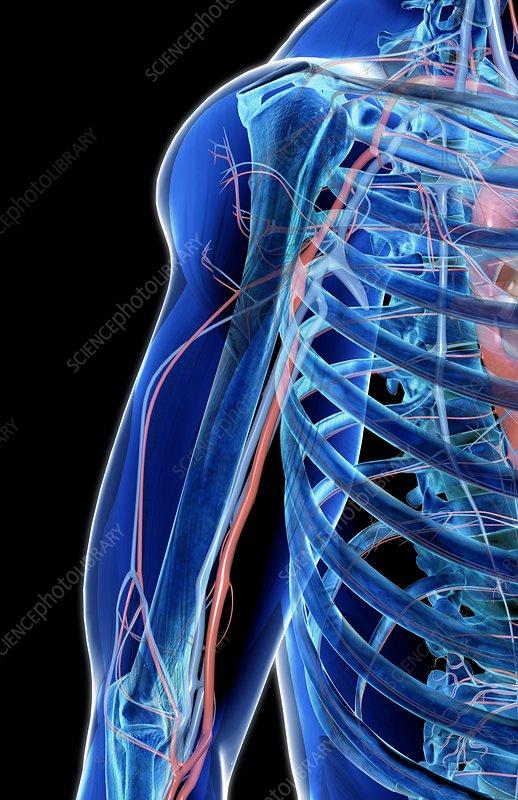 The blood vessels of the shoulder