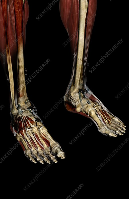 The bones of the legs and feet