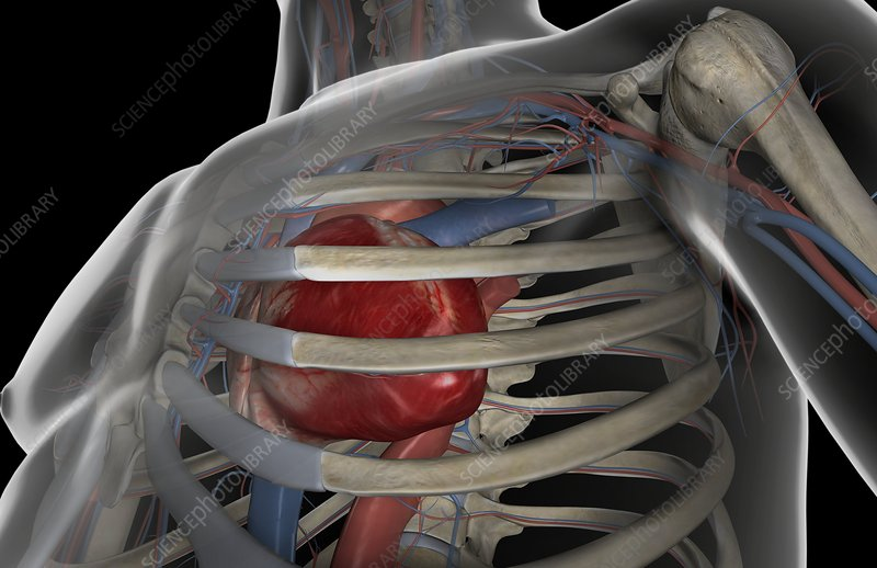 The heart within the thoracic cage
