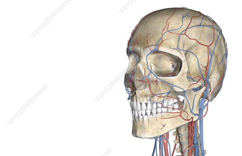 The blood vessels of the face and head
