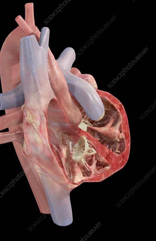 Heart sectioned