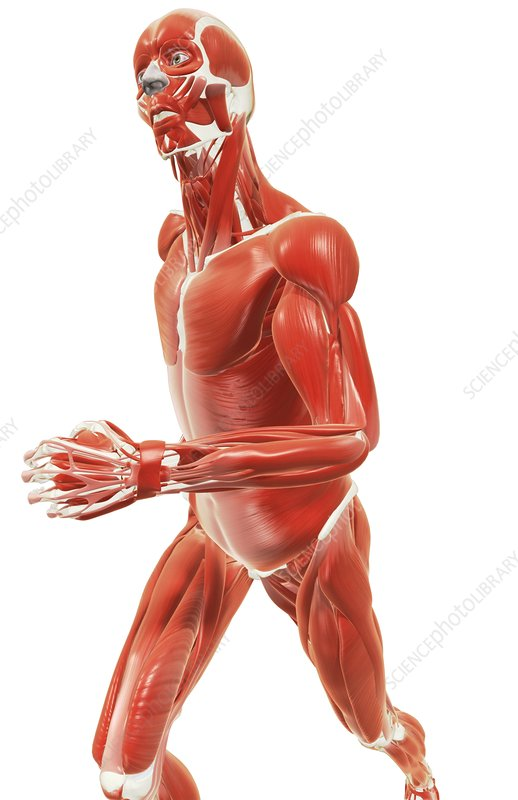 Muscle system pose