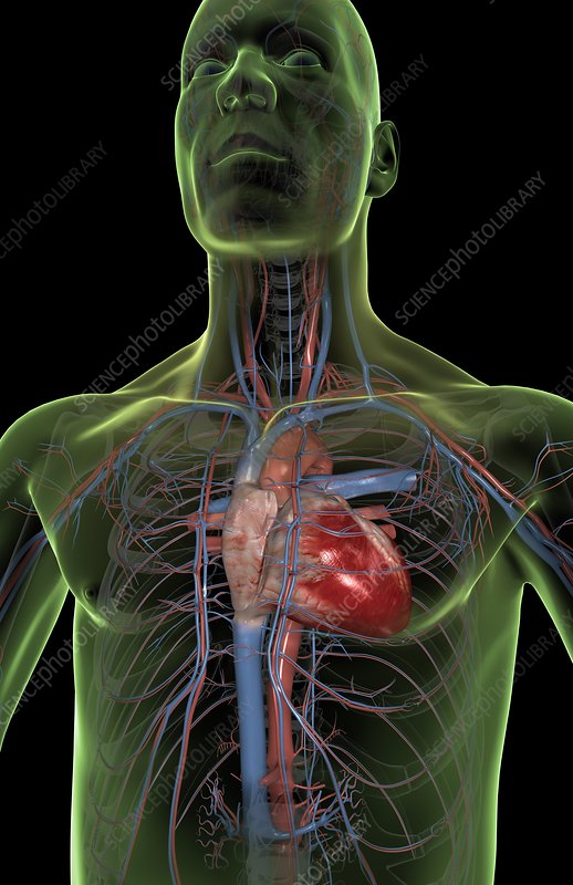 The heart and major blood vessels