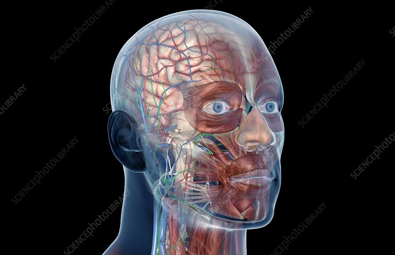 Head blood, lymph vessels and muscles