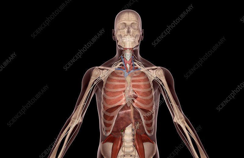 Upper body respiratory system and nerves