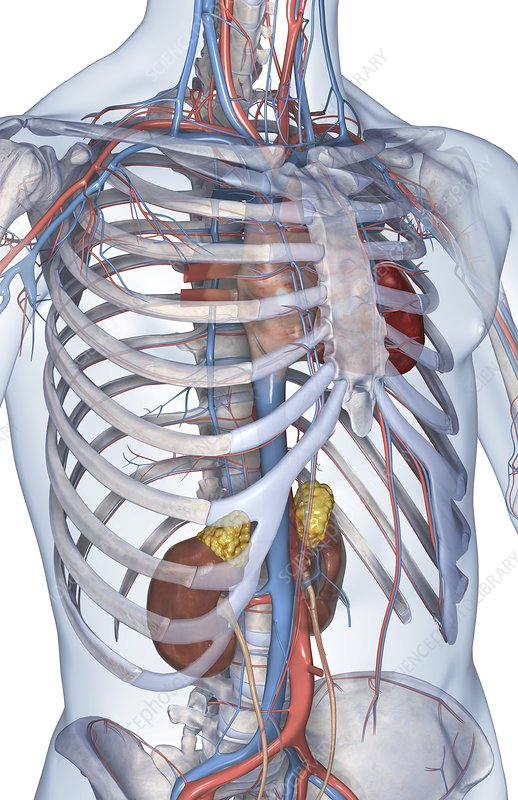 The heart and its major vessels