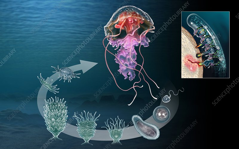 Jellyfish life cycle, artwork