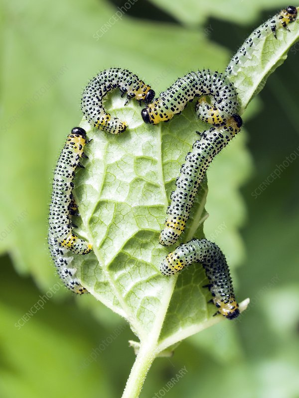 Currant moth larvae