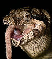 Boa constrictor eating a mouse