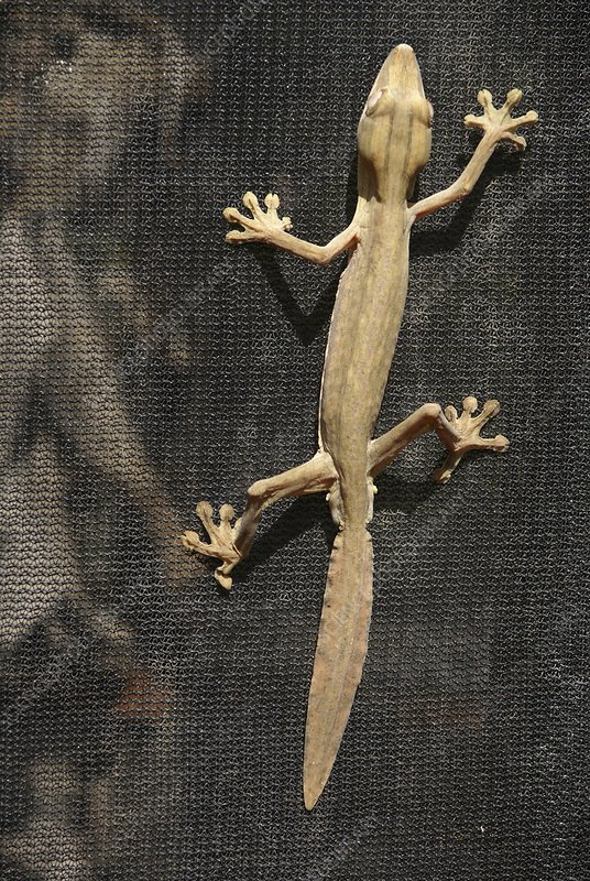 Madagascar, Leaf-tail Gecko