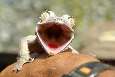 Leaf-tail Gecko